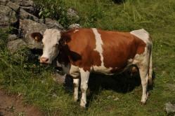 ...leppoisia lehmiä...