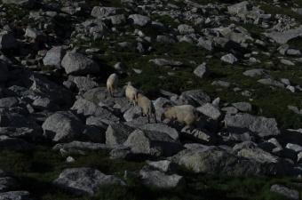 Karun laakson asukkeja olivat lampaat...