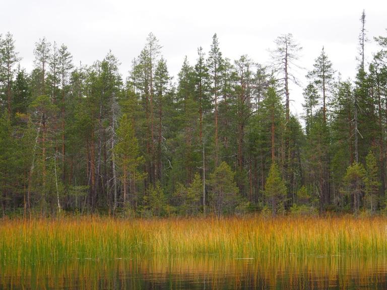 Paras ruska oli Suomussalmella ohi, mutta silti luonto oli nättiä. Muuttolinnut ovat lähteneet liikkeelle. Varsinkin joutsenia näki paljon aamusta.
