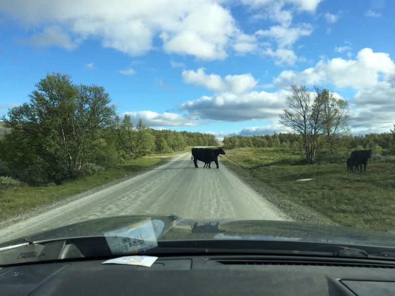 Lehmä tiellä.JPG